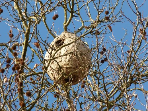 Nid de frelon asiatique dans un arbre